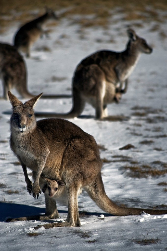 Kangaroos on an unusually cold winter evening